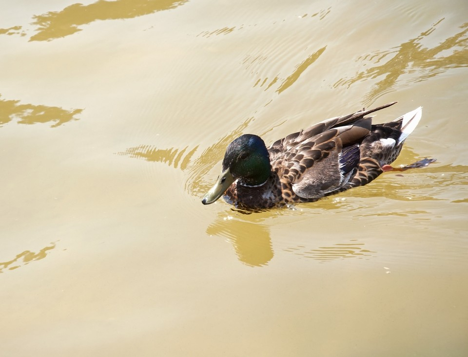 duck_in_the_pond